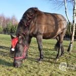 koń je trawe