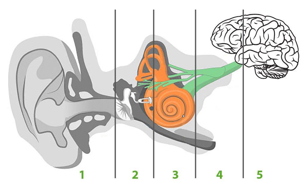 działanie ucha